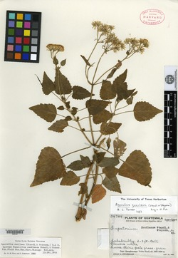 Image of Ageratina zunilana