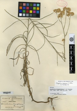 Image of Antennaria linearifolia