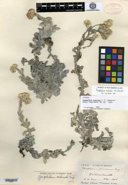Image of Pseudognaphalium nubicola