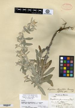 Image of Pseudognaphalium roseum