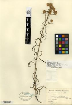 Gnaphalium roseum image