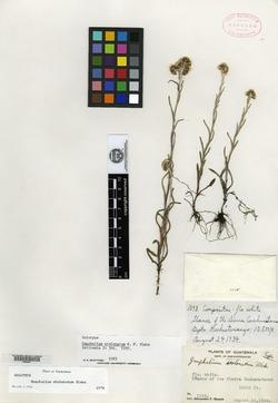 Image of Pseudognaphalium stolonatum