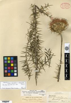 Image of Cirsium durangense