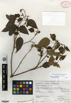 Image of Croton gomezii