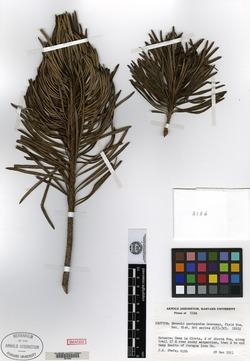 Image of Antillanthus pachypodus