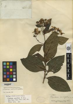 Image of Perymeniopsis ovalifolia