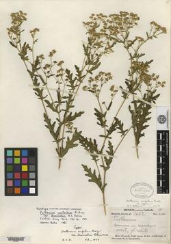 Parthenium confertum image