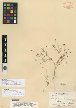 Pectis stenophylla image