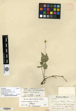 Damnxanthodium calvum image