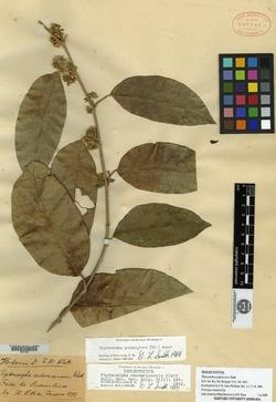 Piptocarpha poeppigiana image