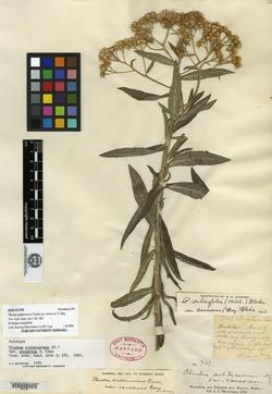Pluchea salicifolia image