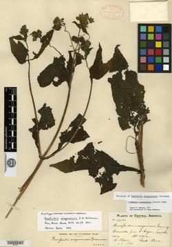 Rumfordia guatemalensis image