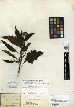 Scalesia divisa image