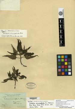 Scalesia microcephala image