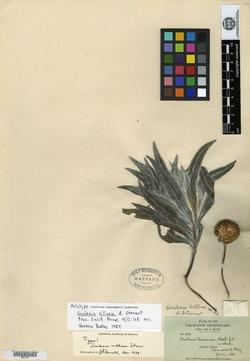 Scalesia villosa image