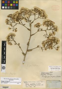 Image of Acourtia grandifolia