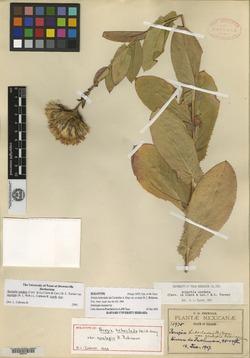 Image of Acourtia cordata