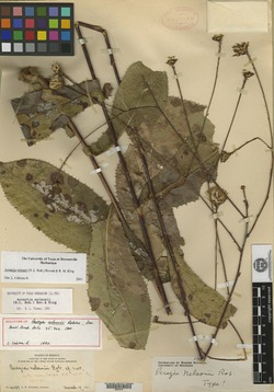 Image of Acourtia nelsonii