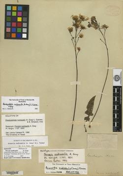 Image of Acourtia nudicaulis