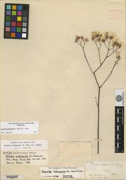 Image of Acourtia nudiuscula