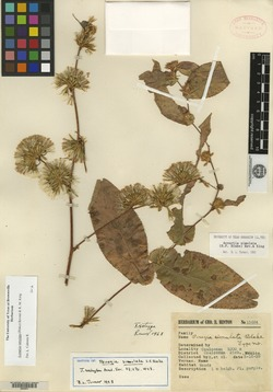 Image of Acourtia simulata