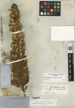 Image of Acourtia moschata