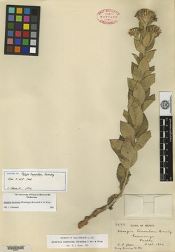 Image of Acourtia tomentosa