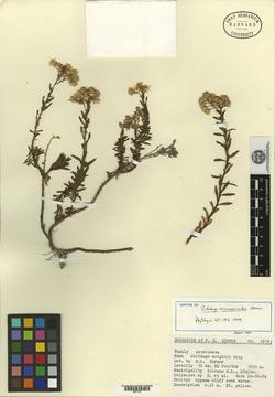 Image of Solidago ericamerioides