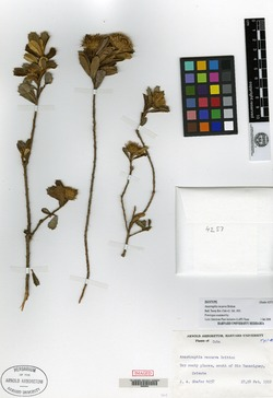 Image of Anastraphia recurva