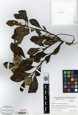 Image of Antillanthus eriocarphus