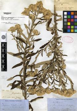 Image of Gnaphalium brachypterum