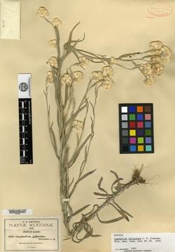 Pseudognaphalium jaliscense image