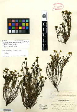 Image of Thymophylla aurantiaca