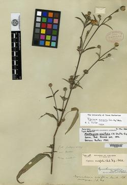 Image of Aldama ensifolia