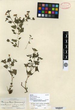 Image of Perityle rosei