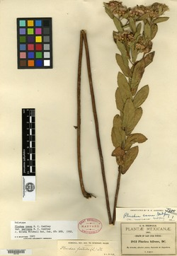 Image of Pluchea mexicana