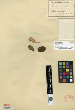 Image of Berylsimpsonia crassinervis