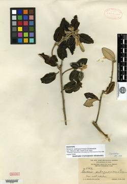 Image of Antillanthus subsquarrosus