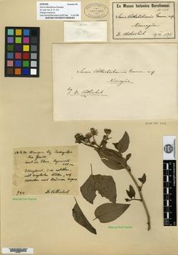 Image of Pseudogynoxys haenkei