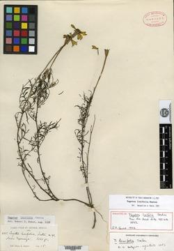 Image of Tagetes linifolia