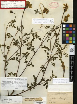 Image of Tagetes parryi