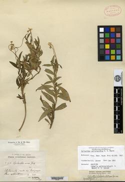 Image of Acmella poliolepidica