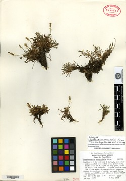 Image of Stephanomeria monocephala