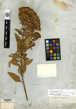 Image of Stevia dictyophylla