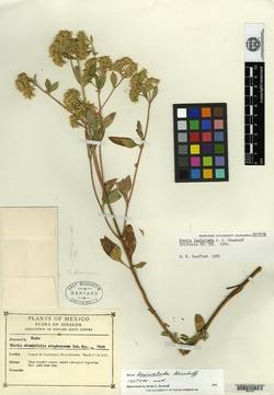 Image of Stevia lasioclada