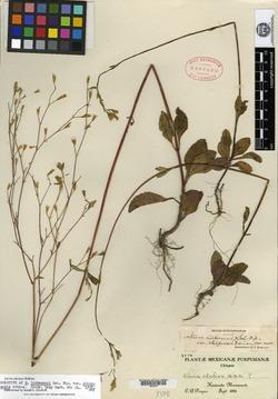 Image of Stevia hintonii