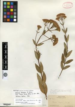 Stevia venosa image