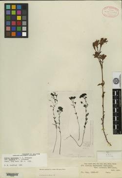 Stevia macbridei image