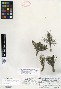 Image of Thelesperma scabridulum
