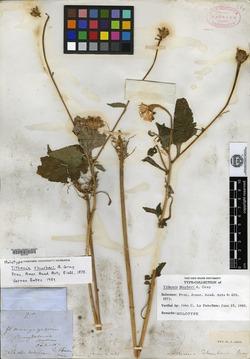 Tithonia thurberi image